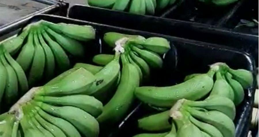 En Salta se producen frutas tropicales de calidad premium